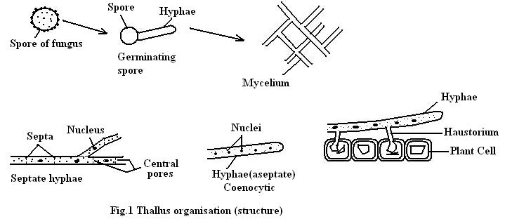 Fungi Structure And Reproduction